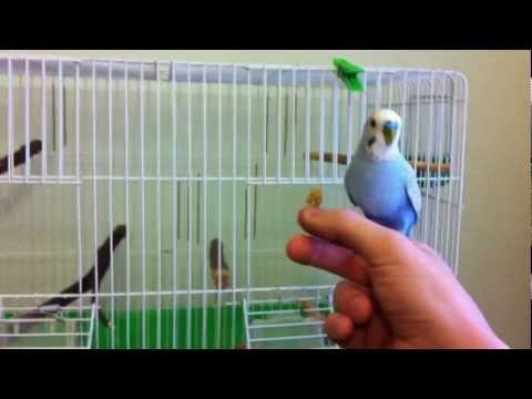 Domesticar periquitos 2: sacar y entrar en la jaula