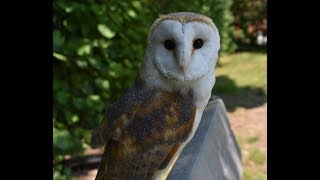 How to prepare barn owl food + how & when to feed your barn owl