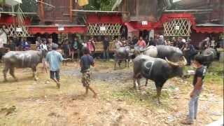 Cara Orang Toraja Membunuh Kerbau By Yaya Baruppu 2