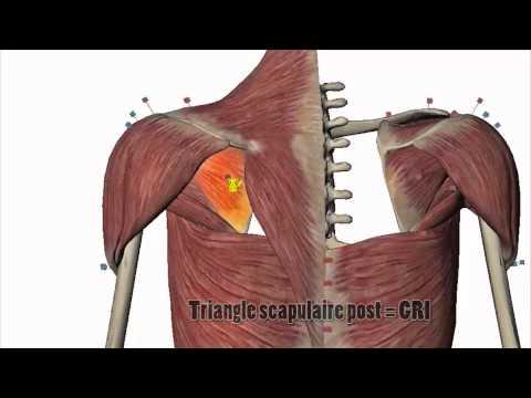 La structure des muscles et les liasses de la cuisse