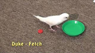 Duke Budgie - Plays Fetch, Parakeet Demonstrates Retrieve Trick