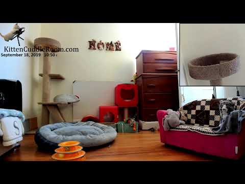 Kitten Cuddle Room Live Stream