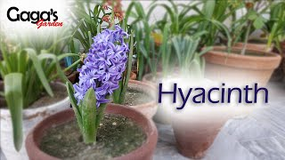 (Update) How To Grow And Care Hyacinth Bulbous Plant
