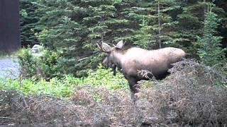 moose soldotna alaska