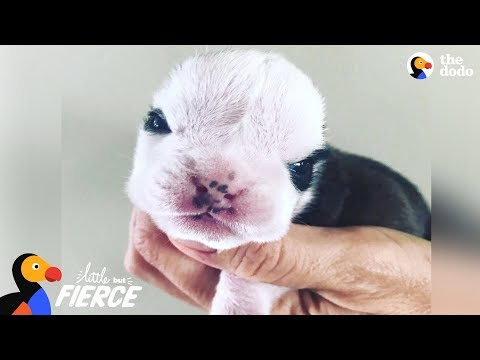 Tiny Bulldog Almost Didn't Make It — Then He Met This Kitten   The Dodo Little But Fierce