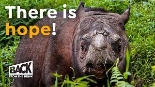 The Sumatran Rhino Now Extinct  | Is That True?