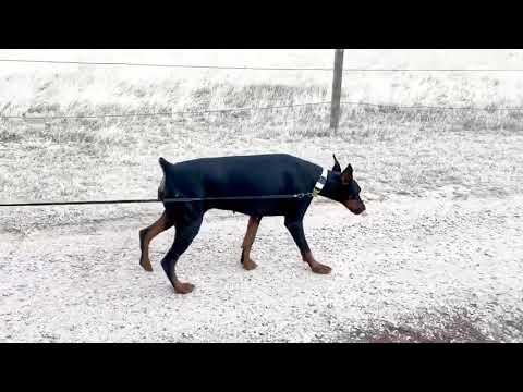 Ella walking on a leash