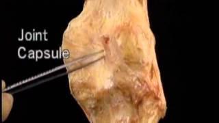 Articulations 9 knee most popular videos anatomie kniekapsel anatomy knee capsule ccuart Choice Image