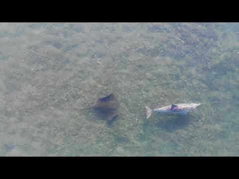 Happened upon a Dolphin and a Stingray hanging out today while I was playing with the drone. Mesmerizing footage.