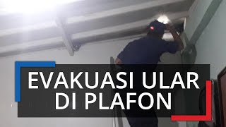 Petugas Damkar Langsung Melaju, setelah Terima Laporan Warga, Ada Ular di Atas Plafon