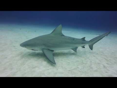Bull Shark Diving in Playa Del Carmen, Mexico – GoPro Hero3+