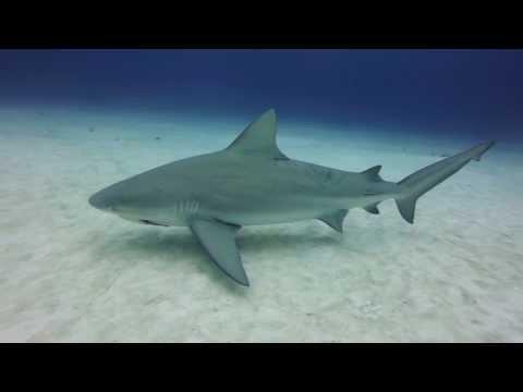 Bull Shark Diving in Playa Del Carmen, Mexico – GoPro Hero3+