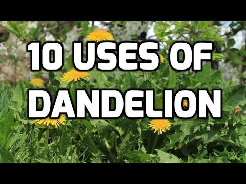 Video 10 USES OF DANDELION
