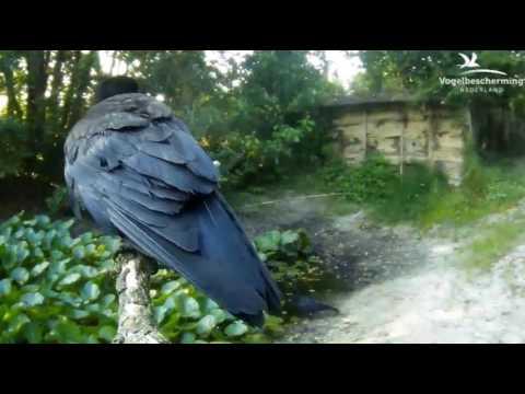 20.06.17 (Eisvogel, Amsel, Specht, Zaunkönig, Krähe)