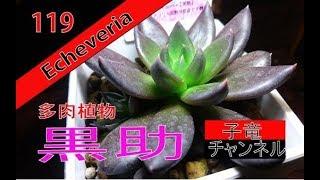 多肉植物[エケベリア]黒助