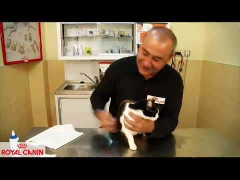 Cómo limpiar las orejas a un gato - Consejos felinos Royal Canin