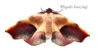 Native New England Moths