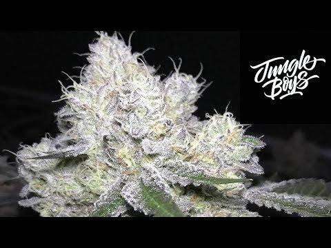 Jungle Boys Wedding Cake Strain Review Mp3 Download Naijaloyal Co