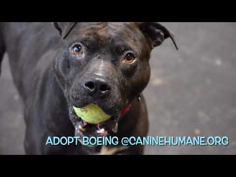 Boeing ( I have a video), an adoptable Staffordshire Bull Terrier Mix in Highland, MD_image-1