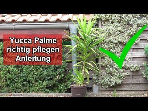 Yucca Palme pflege – Yuccapalme richtig pflegen / Standort / Gießen / Düngen / Schneiden – Anleitung