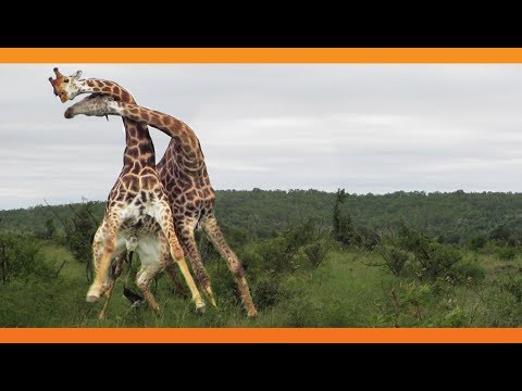A Giraffe Fight is a Pain in the Neck