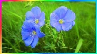 Летом природа радует нас прекрасными цветами. Лён, ленок — очаровательные голубые полевые цветы. Цветы на тонком высоком стебельке такие нежные и хрупкие. Они колышутся под ветром. Кажется, что они танцуют под музыку ветра. Наш мир