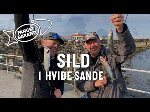 Sildefiskeri i Hvide Sande med Fangstgaranti