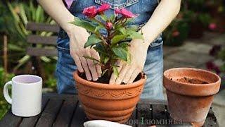 Правильная пересадка цветов в горшок видео