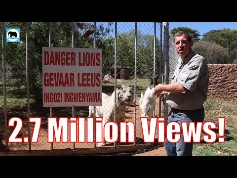 How To Feed Massive 300Kg Bengal Tigers