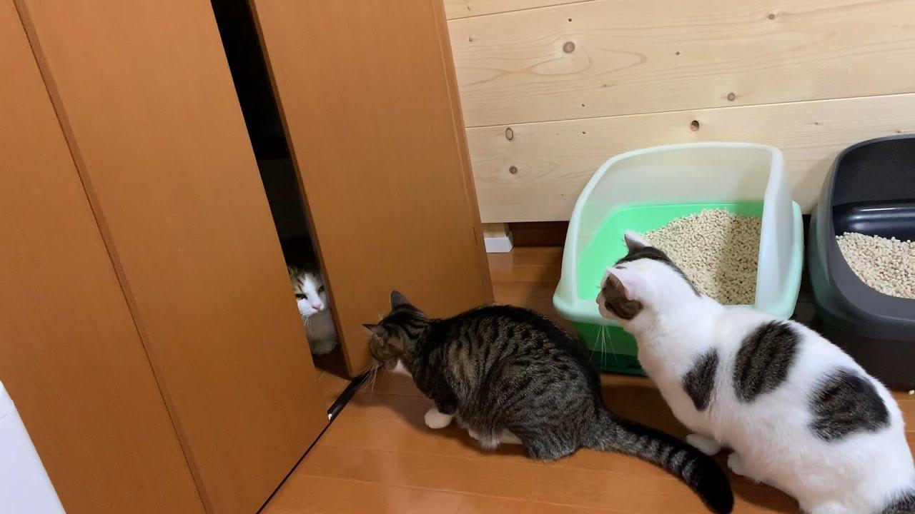クローゼットを中から開ける猫