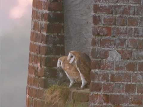 Birds of the Broads – Barn Owl