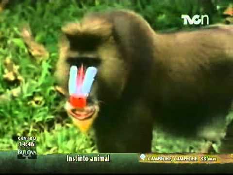 Instinto Animal - El mandril