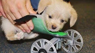 Rescued Two-Legged Puppy Gets Life Altering Custom 3-D Printed Wheelchair