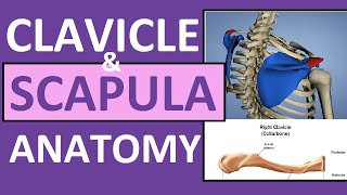 Clavicle and Scapula Anatomy: The Pectoral Girdle