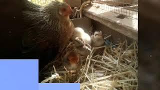 Comment Faire Pondre Une Poule 🐔🐔 #2/2