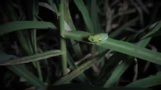 Pickersgill reedfrog
