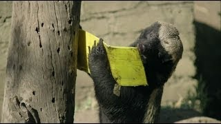 Honey Badger vs. Bee Hive | Nature on PBS