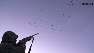 Смотреть онлайн Весенняя охота на белого гуся с подсадной в Канаде