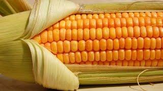 Выращивание кукурузы для попкорна