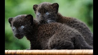 BLACK PANTHERS - Very RARE Video -  Love Nature || HD.