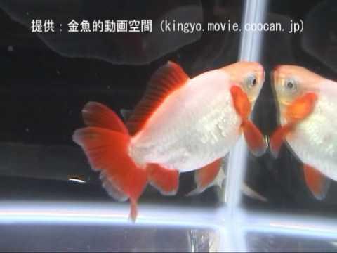 【地金(ジキン)】金魚フリー部門 銀賞 第5回生き物大好きLOVE FISHフェア