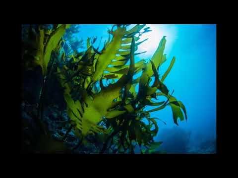 Kelp Algen Wirkung