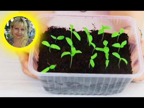 Баклажаны ! Правильный посев семян на рассаду !