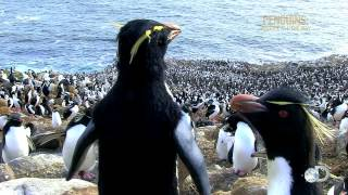 March of the Penguin Cams | Penguins: Waddle All the Way