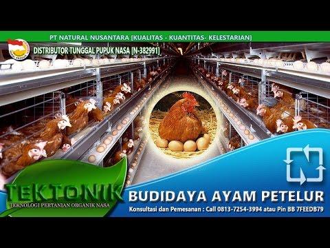 Video 081372543994 | Ayam Petelur usia 6 bulan menghasilkan 550 butir dengan nutrisi VITERNA,POC ,Hormonik