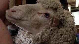 Heiniger und die australischen Schafe: Schweizer Schermaschinen sind weltweit führend
