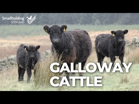 , title : 'Galloway Cattle - Livestock showcase - Scottish Smallholder Festival 2020