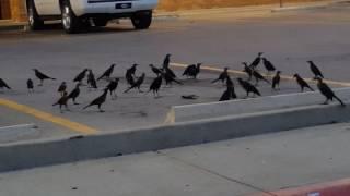 Gambar cover Blackbird (aka The Crow) Funeral Service 830512830