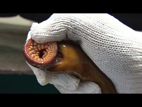 Úgynevezett szarvasmarha-szöveti betegség