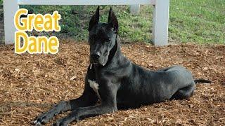 Great Dane Breed